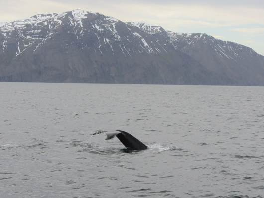 whale watching IJsland